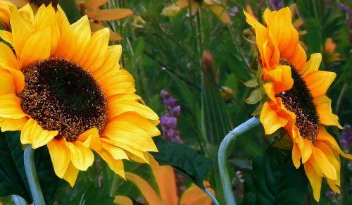 gėlė,augalas,gamta,sodas,vasara,žiedlapis,Uždaryti,saulės gėlė,gėlės,sezonas,žiedadulkės,spalva,gėlių