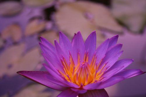 gėlė, augalas, gamta, lapai, vasara, žydėjimas, žiedlapis, sodas, vanduo, atogrąžų, egzotiškas, gėlių, spalva, lauke, lotosas, gražus, be honoraro mokesčio