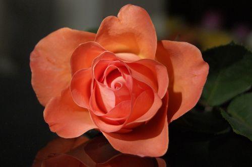 gėlė, rožė, žiedlapis, gamta, augalas, gėlių, meilė, sodas, spalva, gražus, romantiškas, švelnus, oranžinė, gėlės, delikatesas, rosa, be honoraro mokesčio