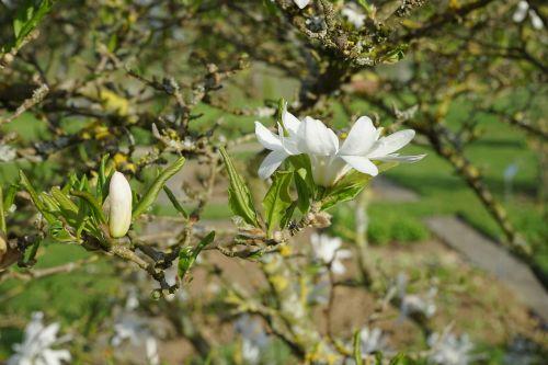 žiedas,žydėti,uždaryta,balta,žvaigždė magnolija,magnolija,dekoratyvinis krūmas,dekoratyvinis augalas,magnolija stellata,dekoratyvinis