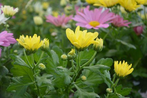 gėlė, gamta, augalas, gėlių sodas, geltonos gėlės rožinės spalvos, žiedlapiai, botanika, botanikos sodas, romantiškas sodas, gėlės žiedlapiai, augalai žydintys, gamtos sodas, be honoraro mokesčio
