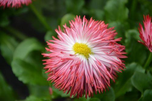 gėlė, augalas, gamta, žiedlapis, sodas, masyvas, gamtos sodas, gėlių sodas, romantiškas sodas, žydėjimas, be honoraro mokesčio