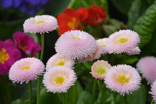 gėlė, gėlės pomponnettes rožės, gamta, gėlės, augalai, sodas, žiedlapiai, gėlių sodas, gamtos sodas, botanikos sodas, žydėjimas, rožinis, romantiškas sodas, be honoraro mokesčio