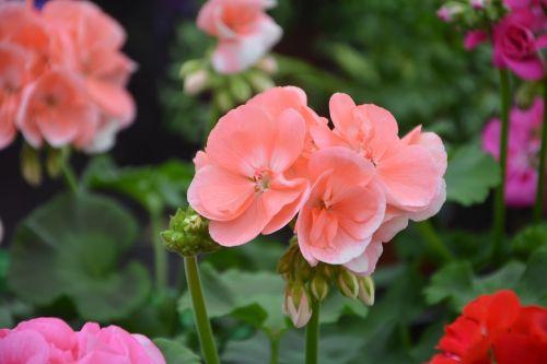 gėlė, geranijos spalvos lašiša, augalas, gamta, sodas, gėlių sodas, žydėjimas, romantiškas sodas, botanikos sodas, be honoraro mokesčio