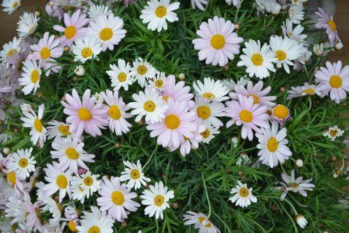 gėlė, augalas, gamta, sodas, vasara, masyvas, gėlių sodas, vasaros sodas, botanikos sodas, be honoraro mokesčio