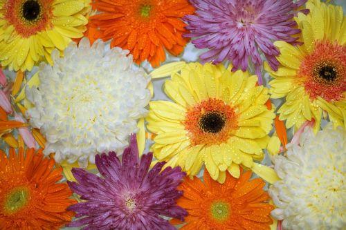 gėlė, Gerbera, gėlių, flora, žiedlapis, african Daisy, patrauklus, fonas, gražus, žydėti, žiedas, botanikos, botanika, chrizantema, Iš arti, rinkimas, spalva, spalvinga, Daisy, apdaila, lašas, plaukiojantieji, šviežias, Gerbera Daisy, izoliuotas, makro, natūralus, gamta, modelis, augalas, romantiškas, pavasaris, vasara, paviršius, tekstūra, tekstūruotos, transvaal daisy, tapetai, vanduo, šlapias, balta chrizantema, balta mama, be honoraro mokesčio