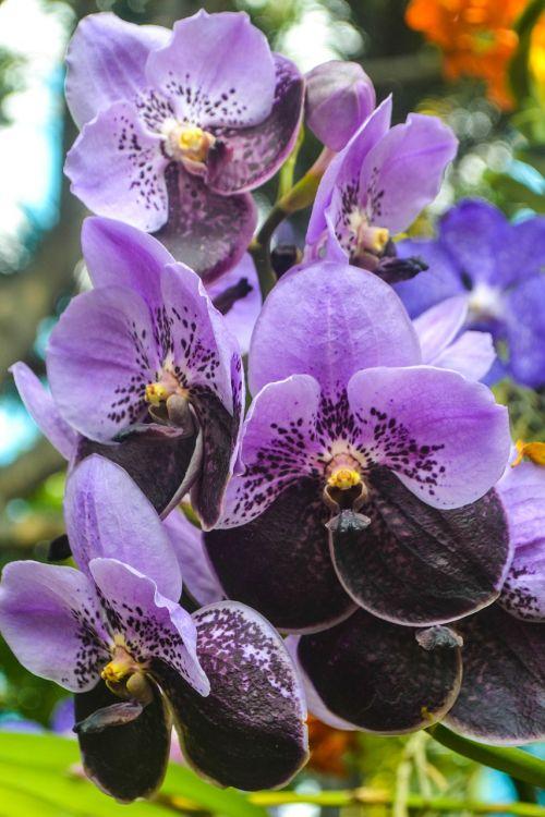 gėlė, flora, gamta, sodas, žydėjimas, Orchidėja, Violetinė orchidėja, orchidėja, violetinė orchidėja