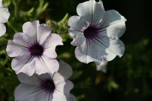 gėlė, flora, gamta, sodas, vasara, spalva, gėlių, Iš arti, žydi, lapai, žiedlapis, lauke, šviesus, sezonas, laukas, gražus, saulė, be honoraro mokesčio