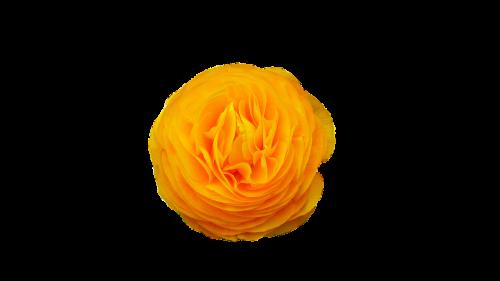 gėlė, geltona, gamta, žiedlapiai, pavasaris, augalas, geltonos žiedlapiai, žydėjimas, gėlės žiedlapiai, be honoraro mokesčio