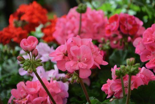 gėlė, augalas, sodas, gamta, žiedlapis, gėlių, pavasario vasaros sezonas, pavasario sezonas, žydėjimas, sezonas, pavasaris, gėlių sodas, gėlių kompozicija, žalia lapija, augalai žydintys, masyvas, spalva, įvykdymas, be honoraro mokesčio