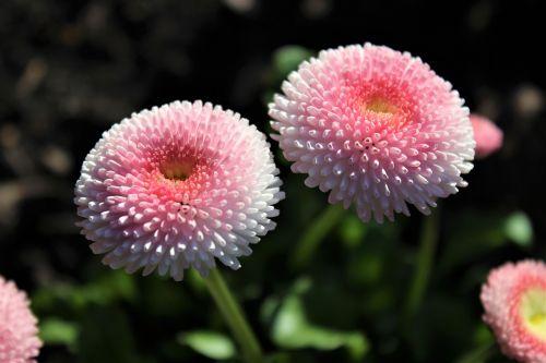 gėlė, gamta, augalas, žiedlapis, vasara, lapai, gėlės, sezonas, sodas, spalva, Uždaryti, šviežias, žiedynas, rožinis, pavasaris, žalias, be honoraro mokesčio