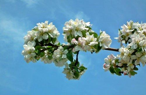 gėlė, augalų, filialas, Apple, pobūdį, Žiedlapis, pavasaris