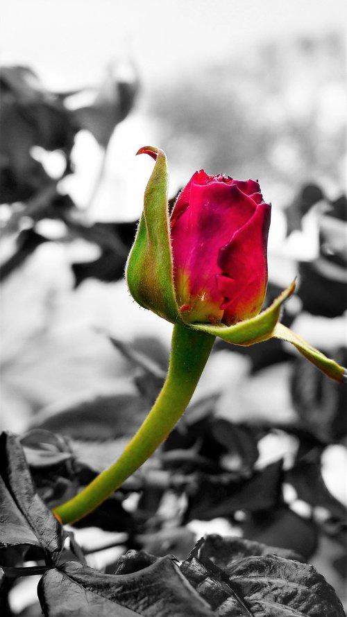 gėlė, pobūdį, augalų, lauko, vasara, Žiedlapis, rožių krūmas, lapų, Nė vienas asmuo, augimas, įvykdymas