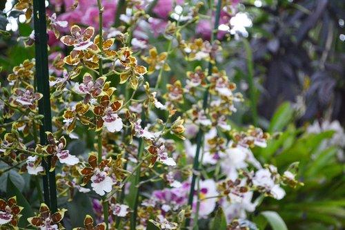 gėlė, augalų, pobūdį, Sodas, vasara, žydi, Botanikos, orchidėjų, Tropic, pavasaris, botanikos sodas, Phalaenopsis