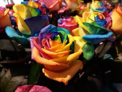 gėlė, šventė, spalva, spalvinga, išaugo, vaivorykštė, vaivorykštės spalvos, spalvinga rožių, spalvinga skintų gėlių, schnittblume, Rosenblattas, padidėjo žydėti, spalvos gėlė, duoti, puokštė, spektras, siuvinėjimas