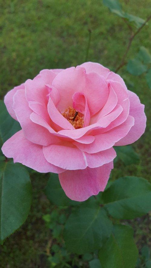 gėlė, pobūdį, augalų, vasara, Sodas, Botanikos, išaugo, gyvena, lauko, žydi, lapai, gražus, spalva