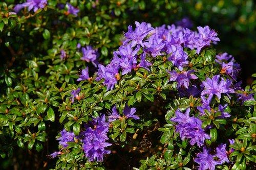 gėlė, Sodas, augalų, pobūdį, violetinė, gėlės, violetinė gėlė, Violetinė, meistriškos, pavasaris, sodo dizainas, šviesus