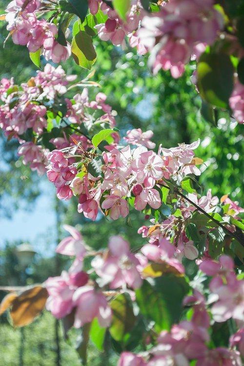 gėlė, augalų, Sodas, pobūdį, medis, žydi, lauke, parkas, rožinis, žydi, Iš arti, gėlės, mielas