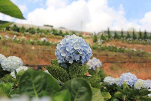 gėlė, spalva, kelionė, Dalat, kilmės suvienyta, Vietnamas
