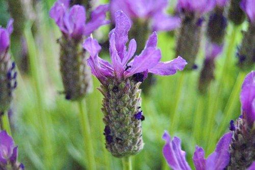 gėlė, violetinė, makro, žiedas, žydi, violetinė gėlė, augalų, gėlė violetinė, pobūdį, Iš arti, Violetinė, raudona violetinė, tamsiai violetinė, kuokelių, Columbine, Aquilegia, vasara, laukinių gėlių