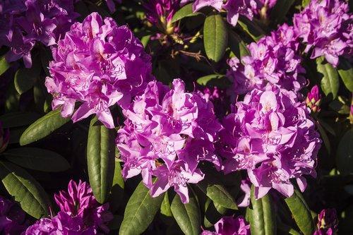 gėlė, žydėjimo krūmas, šviesus, spalvinga, farbenpracht