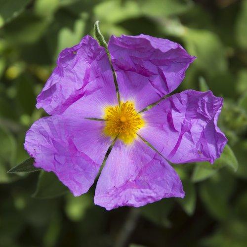 gėlė, Violetinė, geltona, žiedadulkės, piestelė, violetinės gėlės, pavasario gėlės
