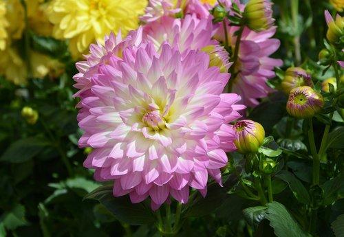 gėlė, Dahlia, gėlių Dahlia, rožinė gėlė, mygtukas Dahlia, masyvas, pobūdį, laukas, pagal-žemės gėlės, žydėjimo, gėlės gėlės, žydėjimo pavasarį