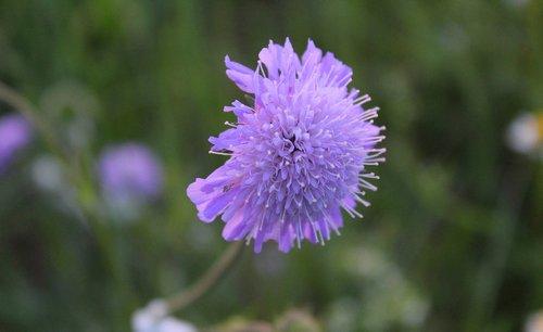 gėlė, violetinė, Iš arti, violetinė gėlė, tamsiai violetinė, žiedas, žydi, pobūdį, augalų, Violetinė, makro, vasara, laukinių gėlių