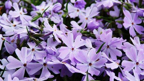gėlė, Violetinė, pobūdį, Sodas, augalų, pavasaris, violetinė gėlė, laukinių gėlių, Véronique violetinė, kvepia vasara, violetinės gėlės, laukas, augalai žydintys