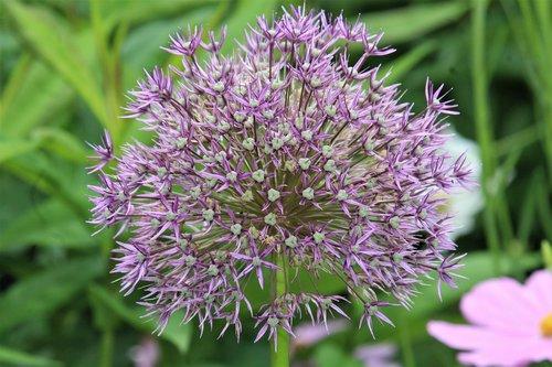 gėlė, violetinė, žiedas, žydi, pobūdį, augalų, Iš arti, Violetinė, makro, kuokelių, laukinių gėlių, violetinė gėlė, pavasaris, Sodas, parkas, floros, botanika