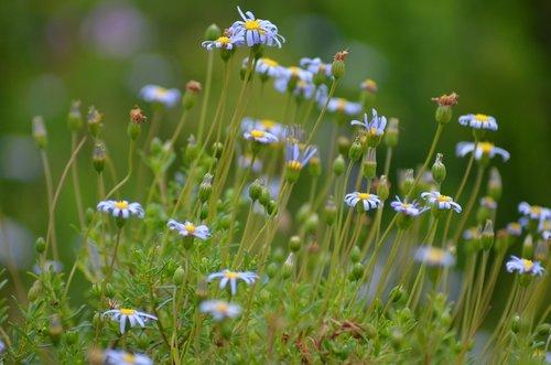 gėlė, žiedas, žydi, pobūdį, augalų, Iš arti, vasara, pavasaris, vasaros gėlės, meistriškos, meadow, visiškai rozkwitnie, žiedas, gėlė balta, suklestėjimas, Balta gėlė, balta žalia, maža gėlė, sodo balta, rožinis, violetinė, gražus, Sode, Jūros gėlės, gėlių pieva