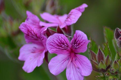 gėlė, žiedas, žydi, Iš arti, vasara, pavasaris, vasaros gėlės, meistriškos, meadow, rausvos gėlės, frühlingsanfang, visiškai rozkwitnie, žiedas, gėlė balta, suklestėjimas, Balta gėlė, žalias, Sodas, spyruokliniai žiedai, balta žalia, maža gėlė, sodo balta, floros, rožinis, violetinė, gražus