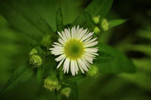 gėlė, Margaret, balta Daisy, Margaret gamtoje, laukinių gėlių