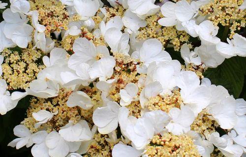 gėlė,gėlės,hortenzija,alpinizmas,lapai,farbenpracht