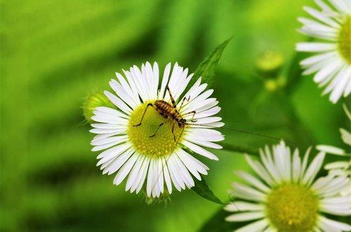 gėlė, Margaret, Margaret gamtoje, gėlių vabzdžių, Grillo, balta Daisy