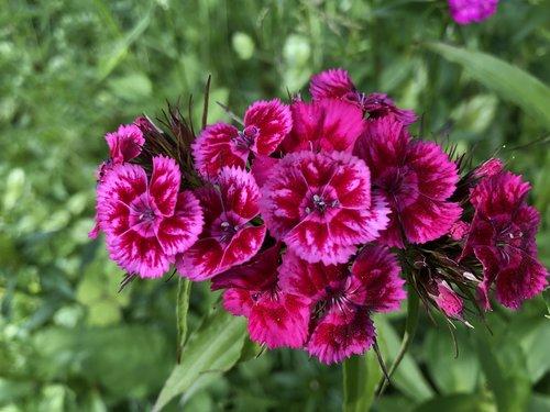 gėlė, laukinių gėlių, pobūdį, laukinių, laukinių gėlių, augalų, vasara, gėlių, pavasaris, rožinis, krūva, žydi, laukas, Sodas, žolė, šviesus, žiedas, vainiklapis