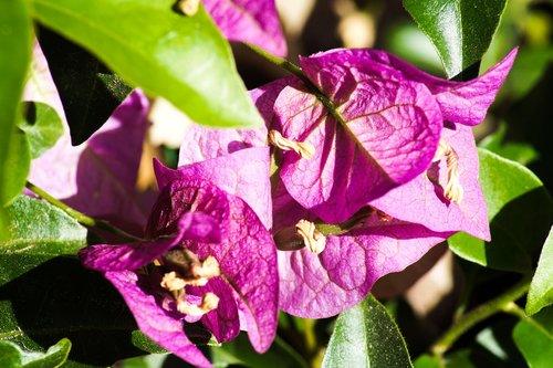 gėlė, violetinė, violetinė gėlė, žiedas, žydi, gėlė violetinė, augalų, pobūdį, Iš arti, Violetinė, tamsiai violetinė, makro, vasara, laukinių gėlių, žalias, Sodas, lapai, lapas