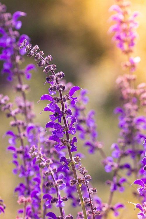 gėlė, augalų, violetinė, violetinė gėlė, gėlės, gėlė violetinė, smailu gėlių, pievų augalai, pobūdį, floros, Iš arti