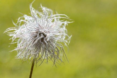 gėlė, prarastas, augalų, smailu gėlių, išblukęs gėlės, išblukęs pieva gėlės, pobūdį, Iš arti