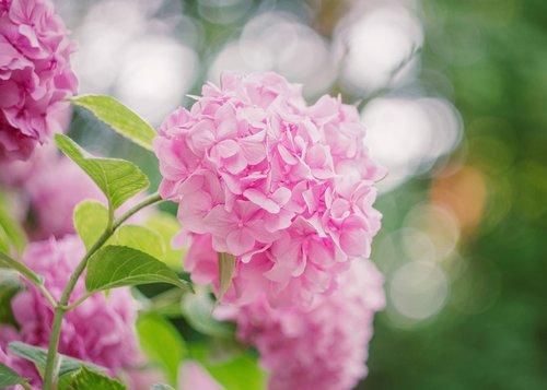 gėlė, rožinis, vasara, pobūdį, Hortensia, Hortenzija, žiedas, žydi, augalų, pavasaris, žiedlapiai, romantiškas, Sodas, Zen, švelnus, žydi, žydi, rytas