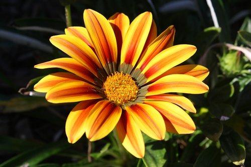 gėlė, oranžinė, geltona, pobūdį, floros, Gyvūnijos, natūralus, spalvinga, spalvinga, šviesus, saulėtas