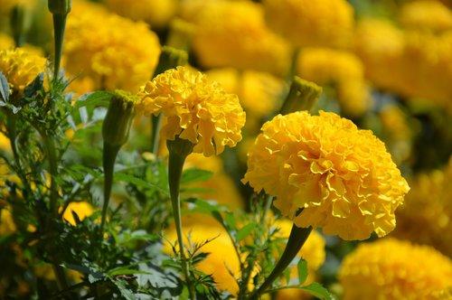 gėlė, medetkų, žiedas, žydi, kompozitai, vasaros gėlės, geltona, spalvinga, šviesus, augalų, floros, pobūdį, vasara