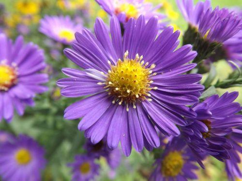 gėlė,violetinė,gamta,vasara,pieva,augalas,Uždaryti,laukinės vasaros spalvos,makro,violetinė,žiedas,žydėti,dulkės,tuti,bičių žiedadulkės,staubgefaese,žydėti,žiedadulkės,antetas