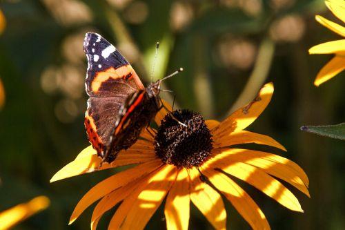 gėlė,augalas,drugelis,spalva,geltona,gražus,vabzdys