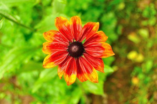 gėlė,lietus,gamta,lašai,augalas,po audros,vasara,ryškumas,po lietaus,Iš arti