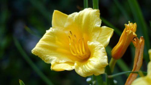 gėlė,diena lilly,lelija,diena,flora,geltona,žydi,spalva,gėlių,makro,budas,elegancija,dienos diena,žiedlapiai,žydėti