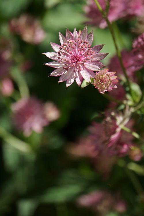 gėlė,švelnus,rožinis,sodo augalas,kultivuotas