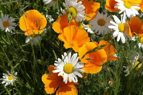 gėlė,oranžinė,geltona,balta,žiedas,gamta,žiedlapis,žydėti,Daisy