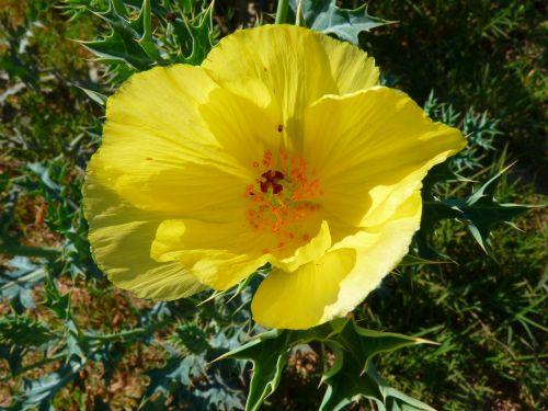 žiedas,žydėti,gėlė,geltona,ispanų aguonas
