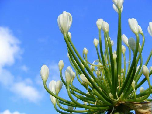 gėlė,agapanthus gėlė,balta agapanthus gėlė,agapanthus,balta,dangus,mėlynas,lelija,žydi,debesys
